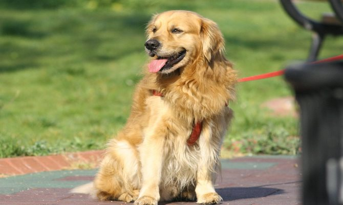 golden retriever opinie