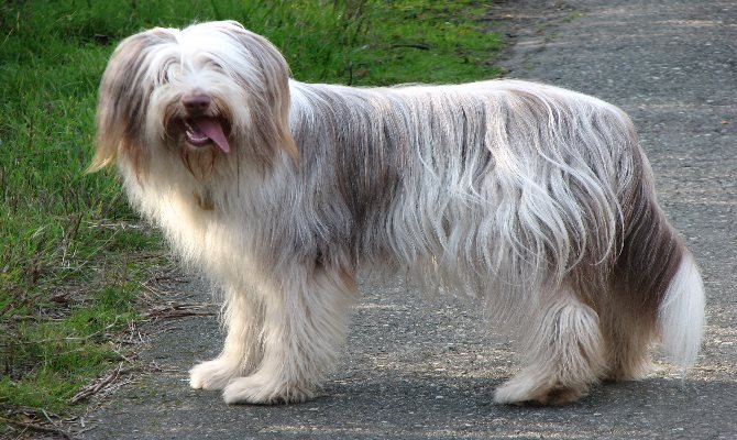 bearded collie charakter