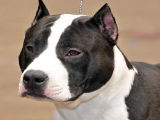hodowle american staffordshire terrier