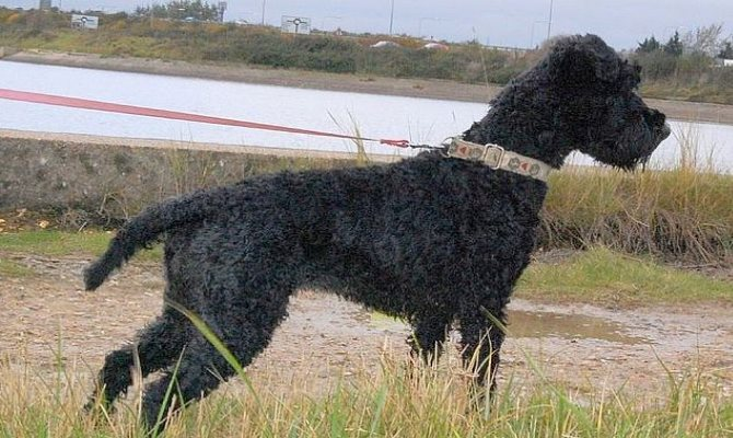 kerry blue terrier hodowla