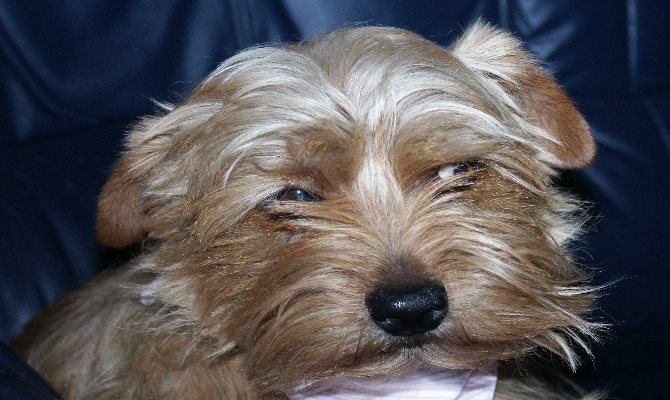 norfolk terrier opis rasy